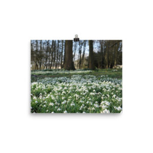 A Carpet of Snowdrops – Limited Edition Print